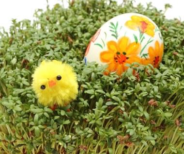 Kiedy i jak zasiać rzeżuchę i owies na Wielkanoc?