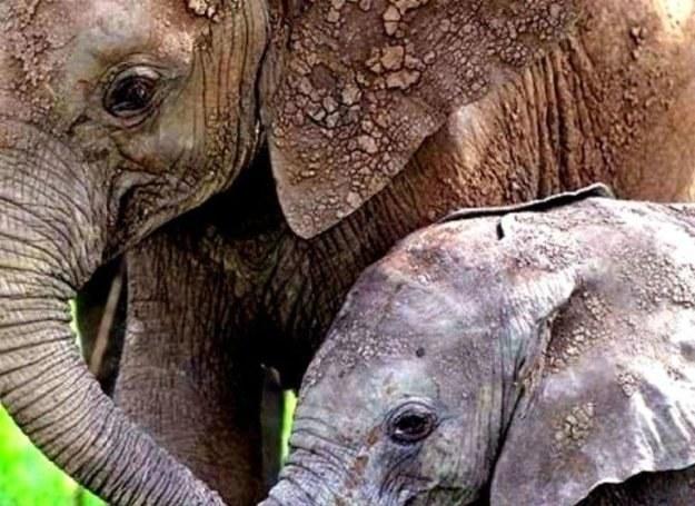 Kiedy słonie poczują, że zbliża sie kres ich życia udają się na sekretne cmentarzyska... /MWMedia