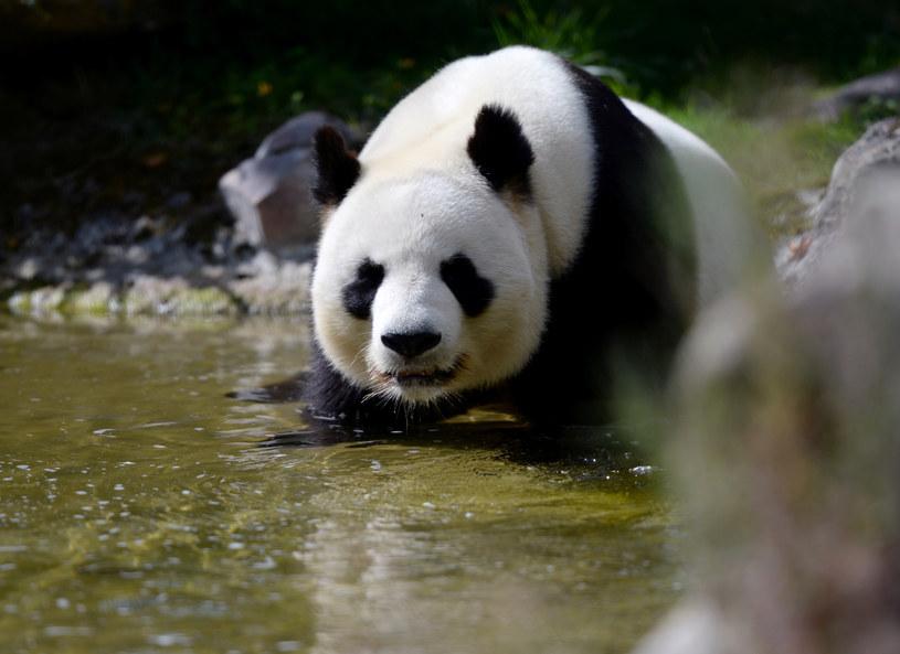 Kiedyś pandy żyły w Europie /AFP