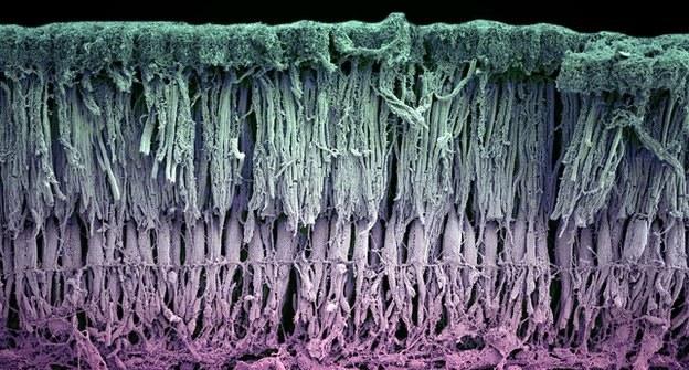Kilka warstw siatkówki z pręcikami i czopkami zlokalizowanymi w górnej części (Fot. UCL) /materiały prasowe