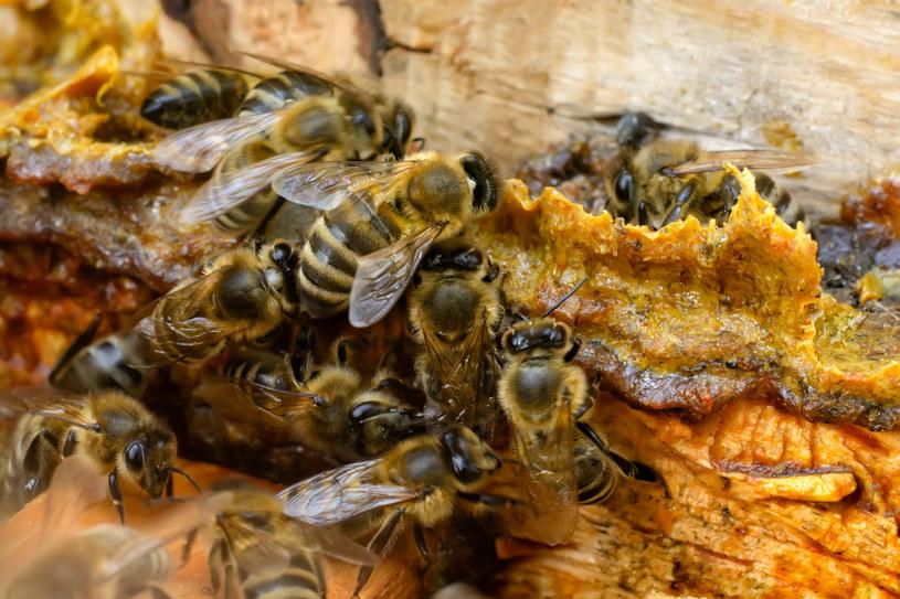 Kit pszczeli to naturalna bariera chroniąca ul przed szkodliwymi czynnikami z zewnątrz /123RF/PICSEL