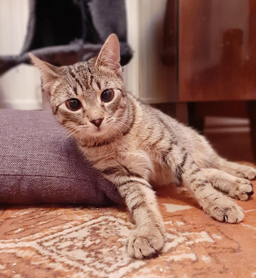 """Kiwi, który wraz z innymi kotkami bierze udział w akcji """"Mruczek sam nie poprosi o pomoc"""" /archiwum prywatne"""