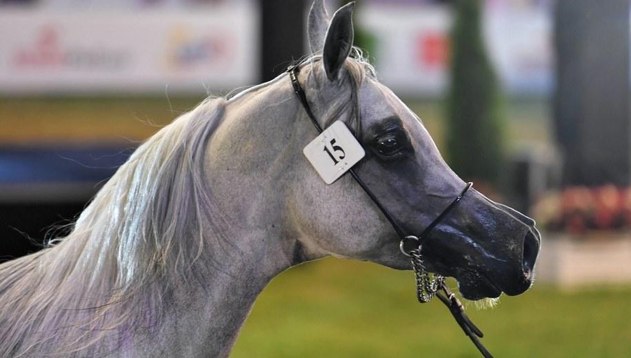 Klacz Atakama na 51. aukcji koni arabskich Pride of Poland w Janowie Podlaskim /Wojtek Jargiło /PAP