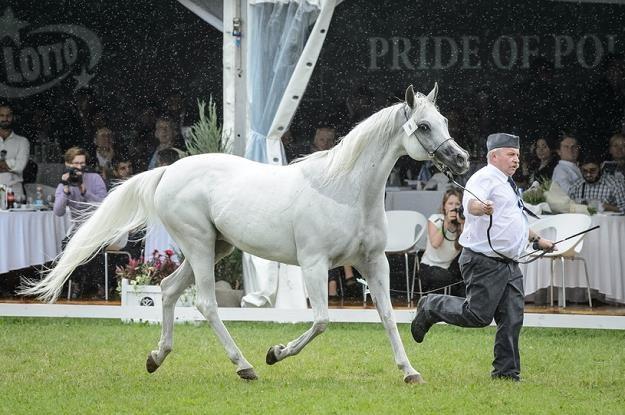 Klacz Emira na pokazie koni przed 47. Aukcją Koni Arabskich Fot Wojciech Pacewicz /PAP