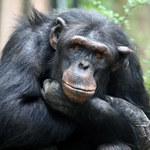 Kładły się spać zdrowie - rano były martwe. Tajemnicza choroba szympansów może przejść na ludzi