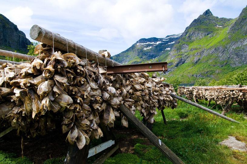 Klasyczna widokówka z Lofotów. Żerdzie do suszenia dorszy, których ogromne ławice wędrują tu od stycznia do kwietnia /123RF/PICSEL