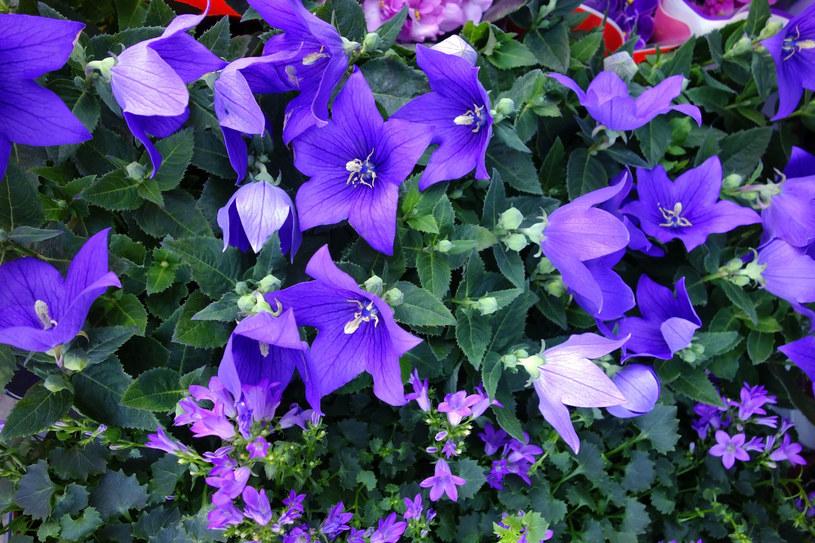 Klematis to obficie kwitnące wieloletnie pnącza albo byliny /123RF/PICSEL