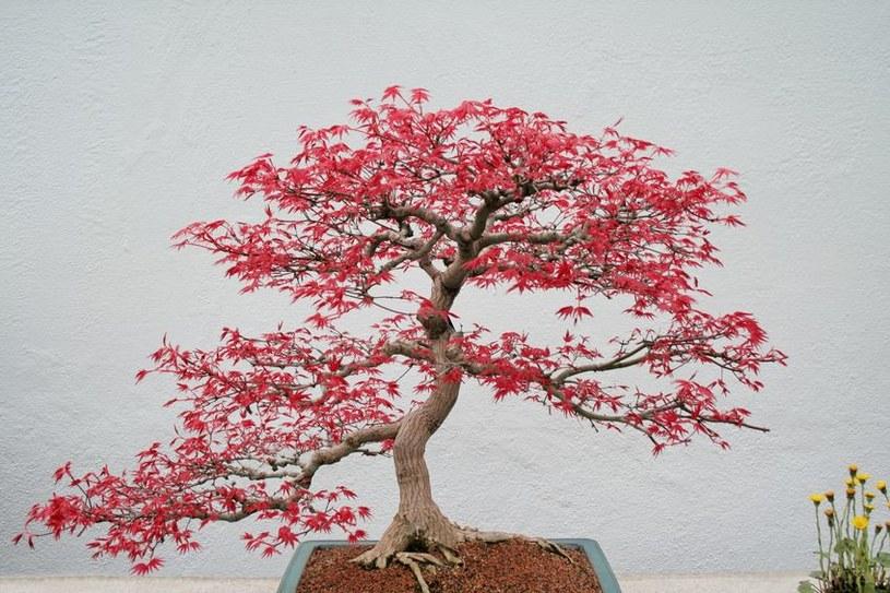 Klon japoński można sadzić w donicy przez cały okres wegetacji /123RF/PICSEL