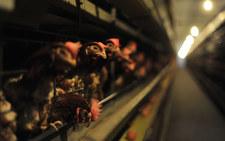 KO, Lewica i Polska 2050 o hodowli zwierząt. Apelują o przyjęcie ustawy odorowej