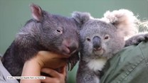 Koala i wombat najlepszymi przyjaciółmi w czasie izolacji