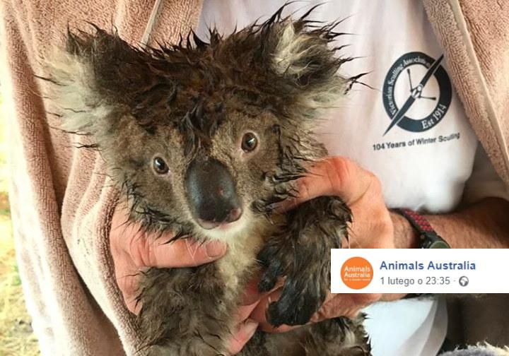 Koala uratowany ze zrównanej z ziemią przez buldożery plantacji eukaliptusa /Facebook /
