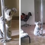 Koala włamał się do domu i tańczył na… rurze!