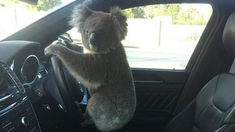 Koala za kółkiem /@FIVEaaBreakfast /Twitter