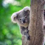 Koale mogą wyginąć w Australii do 2050 r.