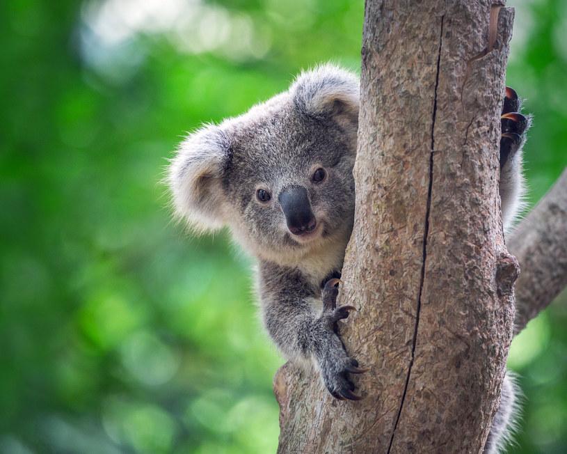 Koale w opałach /123RF/PICSEL