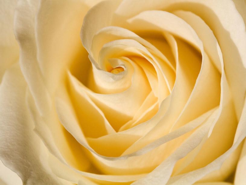 Kobieta, która chce uchodzić za elegancką powinna pachnieć różą  /© Panthermedia