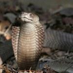 Kobra sparaliżowała prace parlamentu