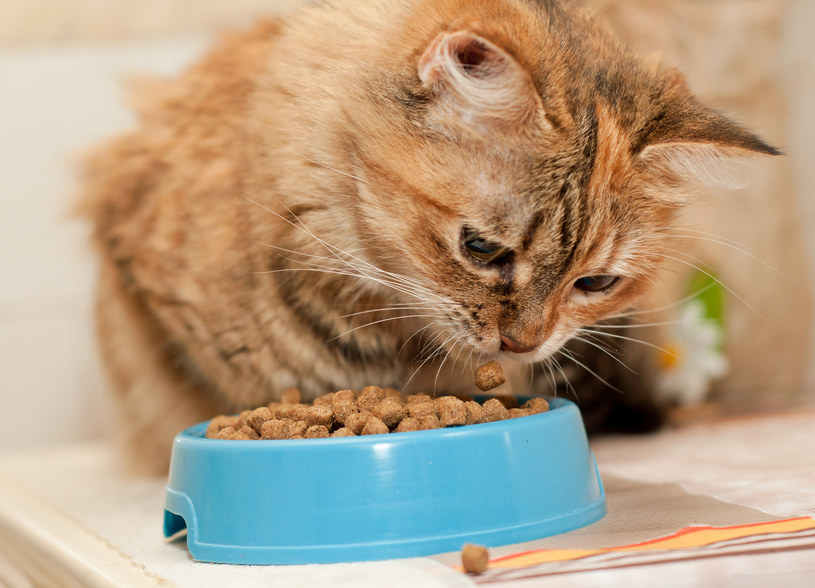 Kocia dieta najczęściej opiera się na gotowej karmie /123RF/PICSEL