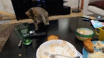Kocie polowanie na tosta. Udało się?