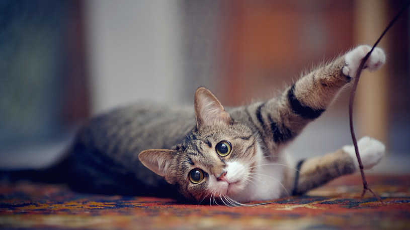 Kocimiętka może pomóc zainteresować kota drapakiem, który był wcześniej przez niego ignorowany
