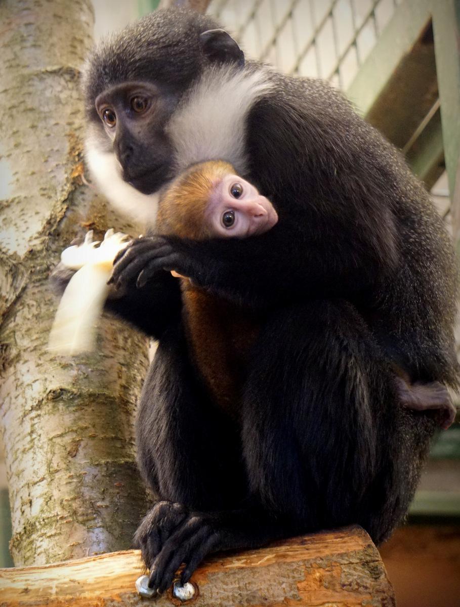 Koczkodany można spotkać w zaledwie 14 ogrodach zoologicznych na świecie /ZOO Wrocław /
