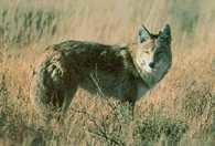 Kojot /Encyklopedia Internautica