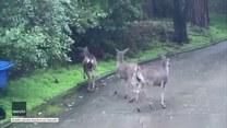 Kojoty i jelenie stoczyły walkę o terytorium na przedmieściach