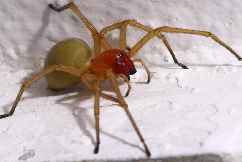 Kolczak zbrojny. Niebezpieczny pająk w Polsce, fot. Chrząstawa Mała - Radna Anna Andrusyn /facebook.com