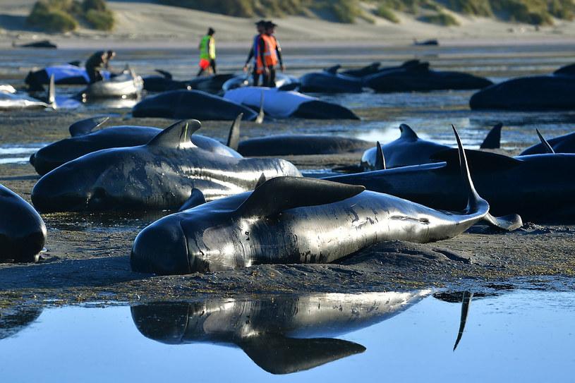 Kolejne setki waleni wyrzuconych na brzeg /MARTY MELVILLE /AFP