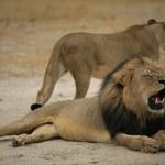 Kolejny lekarz-myśliwy podejrzany o zastrzelenie lwa