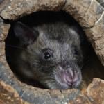 Kolejny sojusznik w walce z wirusem: Szczury mogą pomóc podobnie jak psy