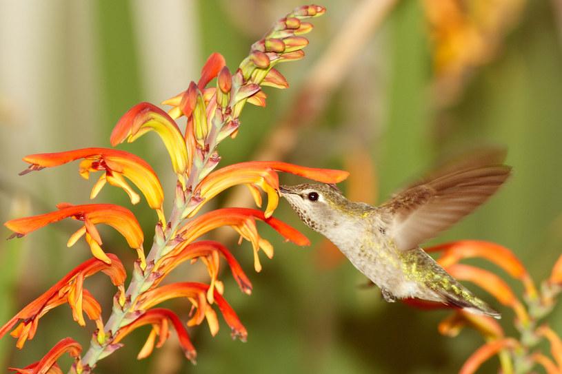 Koliberek żarogłowy. Fot. Matthew Field /Wikipedia