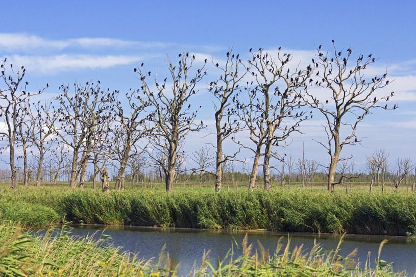 Kolonia kormoranów zwyczajnych na mokradłach Anklamer Stadtbruch /Sven-Erik Arndt  /East News
