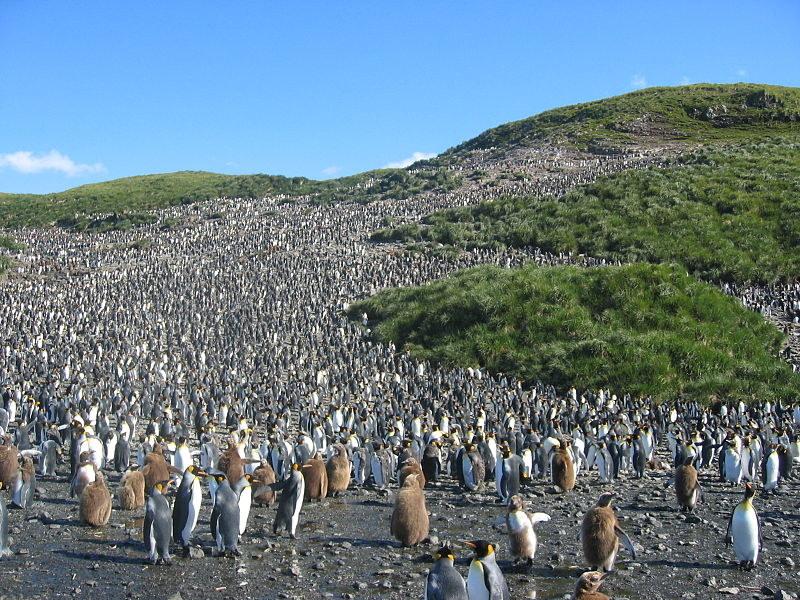 Kolonia pingwinów królewskich na Georgii Południowej /Wikimedia