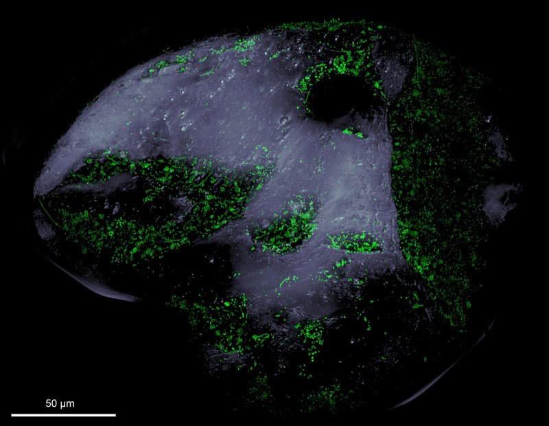 Kolonie bakterii widoczne na zielono w zagłębieniach ziarenka piasku /MPIMM/CC-SA BY 4.0 Max Planck Society /Materiały prasowe