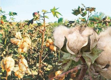Kolorowa bawełna na plantacji /materiały prasowe