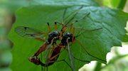 Komar - prześladowca