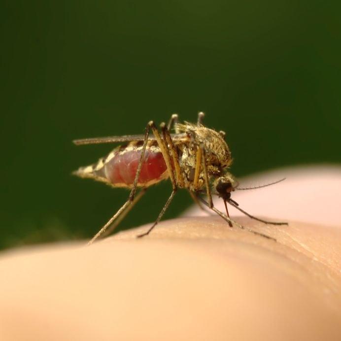 Komar z krwią /©123RF/PICSEL