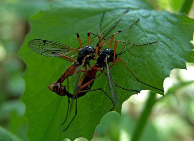 Komary mogą przenosić wiele groźnych chorób /© Panthermedia