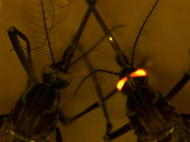 Komary odporne na dengę mają gen, który pozwala je odróżnić od innych /CSIRO /Materiały prasowe