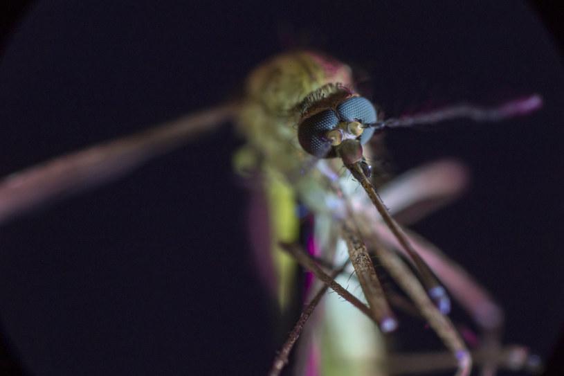 Komary przenoszą śmiertlelnie niebezpieczne dla ludzi wirusy /materiały prasowe
