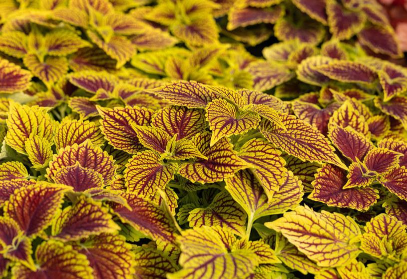 Komarzyca zachwyca różnobarwnymi liśćmi /123RF/PICSEL
