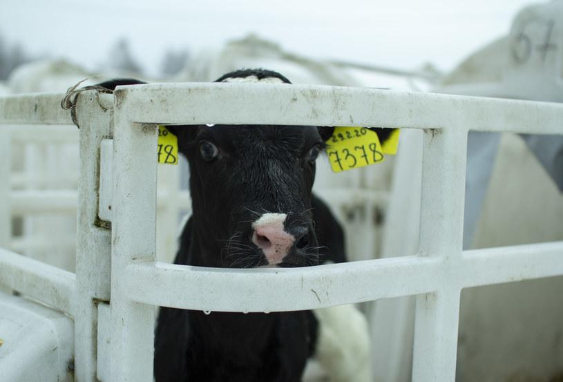 """Komisja Europejska ogłosiła, że do końca 2023 r. zamierza """"przedstawić wniosek ustawodawczy mający na celu wycofanie i ostateczny zakaz stosowania klatek w odniesieniu do wszystkich gatunków i kategorii zwierząt, o których mowa w Inicjatywie"""". /123RF/PICSEL"""
