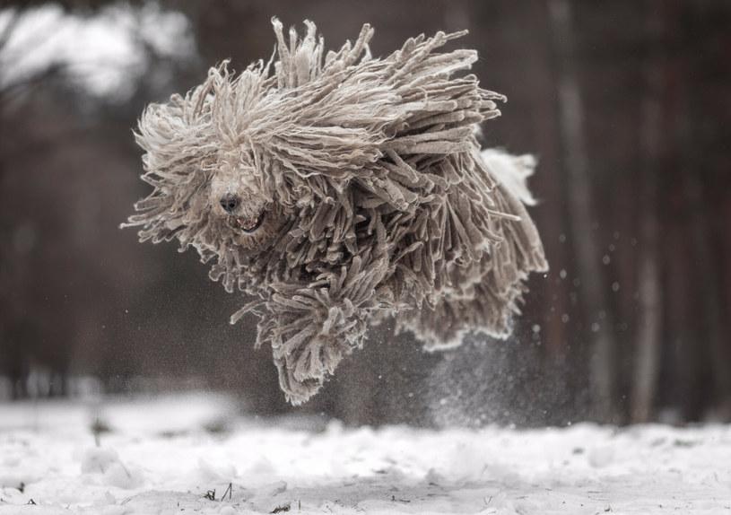 Komondor w ruchu. W tym przypadku zdjęcie czworonoga zrobiono zimą /Andy Seliverstoff/Solent News /East News