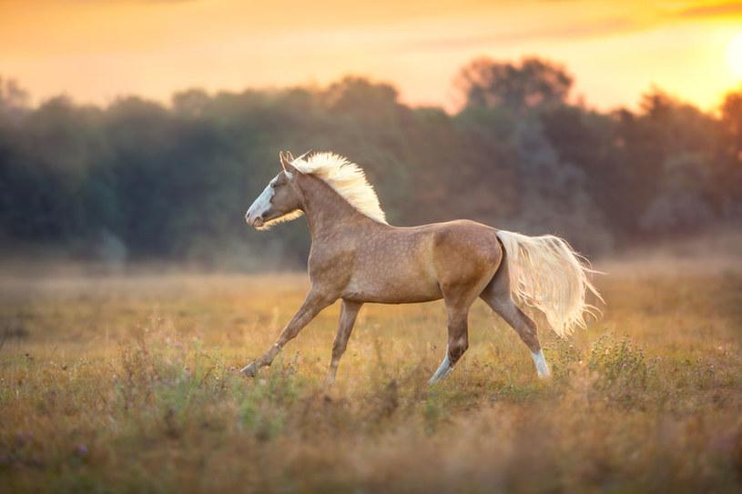Koń o maści palomino /©123RF/PICSEL