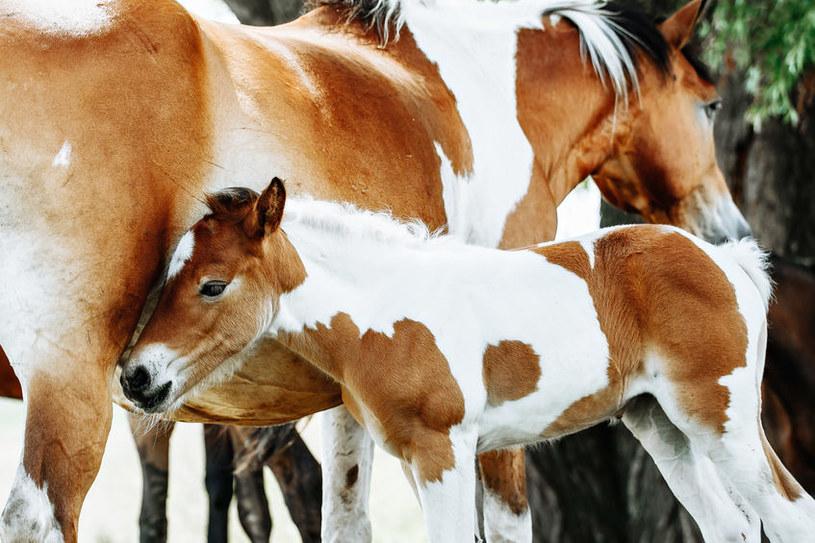 Koń o maści tobiano /©123RF/PICSEL