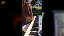 Koń spróbował swoich sił przy pianinie. Uśmiejesz się