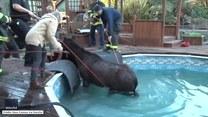 Koń wszedł do basenu, lecz nie potrafił z niego wyjść. Musieli mu pomóc strażacy
