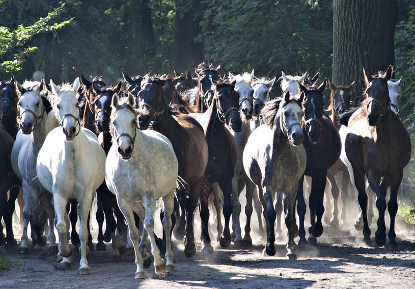 Konie arabskie stały się dumą Polski /Andrzej Sidor /Agencja FORUM
