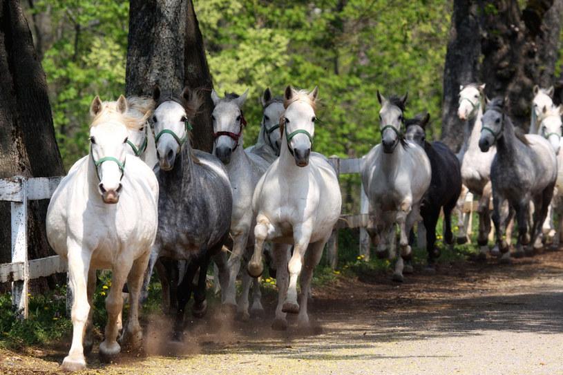 Konie lipicańskie wykorzystuje też słynna Hiszpańska Szkoła Jazdy w Wiedniu /123RF/PICSEL